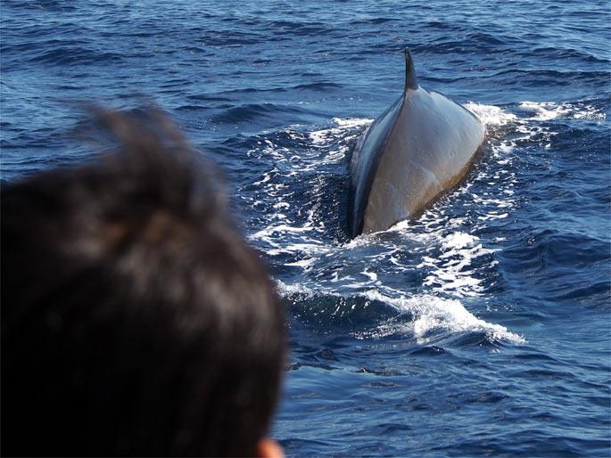 船の前を泳ぐニタリクジラ
