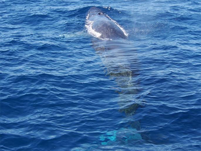 ニタリクジラの泳ぐ様子